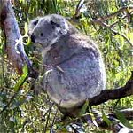 Koala Conservation Centre - Accommodation Main Beach