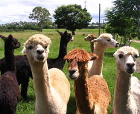 Banyandah Alpacas - Accommodation Main Beach