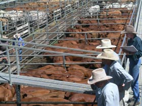 Dalrymple Sales Yards - Cattle Sales - Accommodation Main Beach