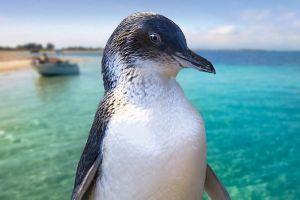 Full-Day Penguin Island  Fremantle Town - Accommodation Main Beach